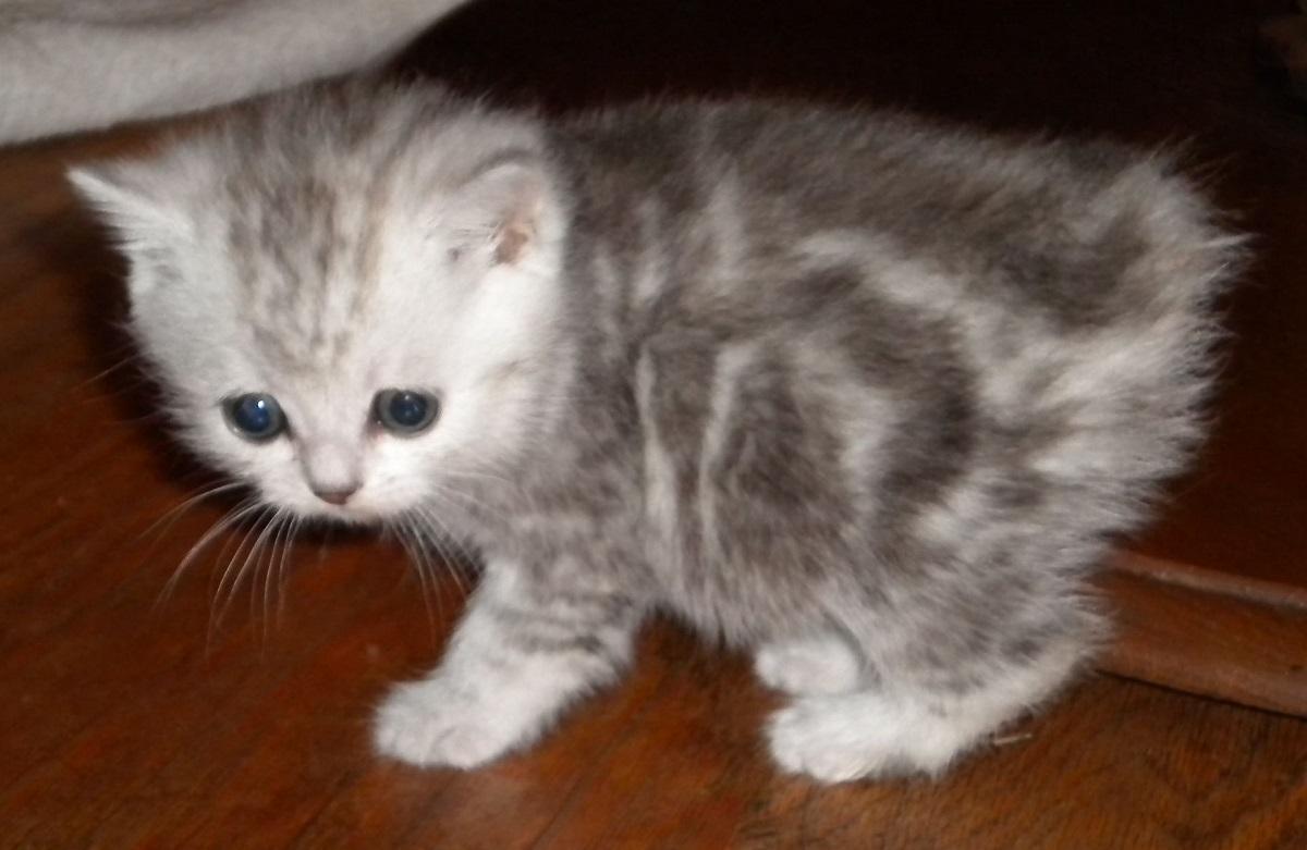 cucciolo di gatto manx