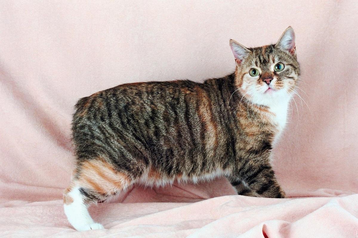 gatto manx di varietà rumby
