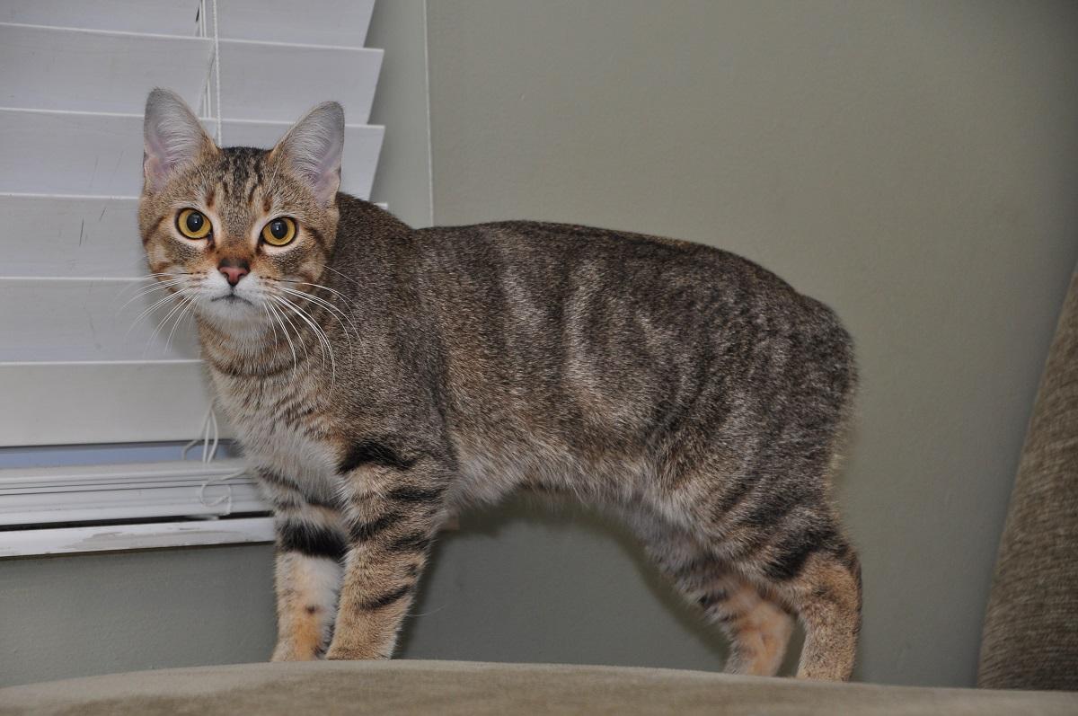 gatto manx in casa