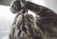 gatto lecca rubinetto