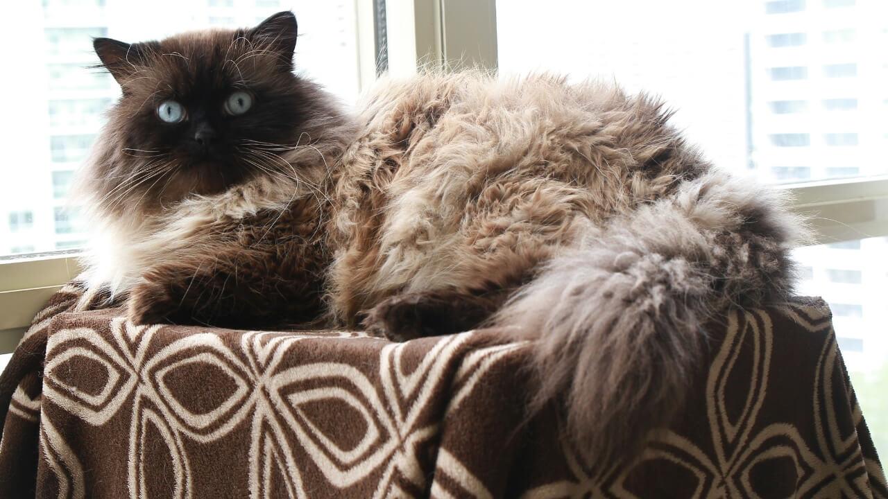 razza gatto himalayano marrone beige