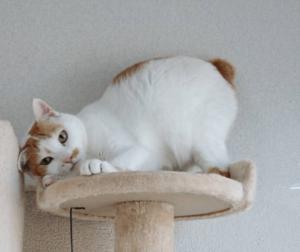 Bobtail giapponese: carattere e personalità