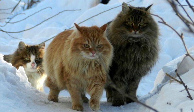 Gatto norvegese: problemi di salute comuni