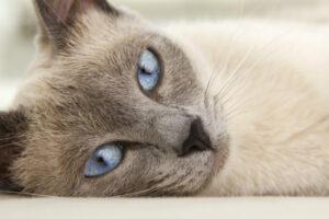 Siamese Blue Point: caratteristiche e foto