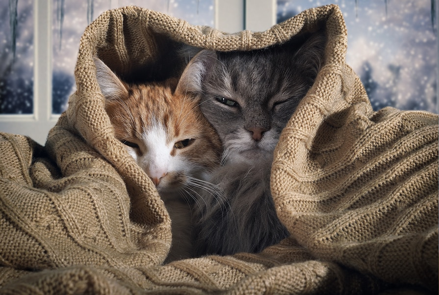 Maine Coon e altri gatti: cosa fare