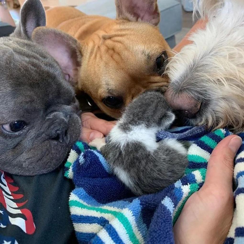 Gattino annusato da tre cani
