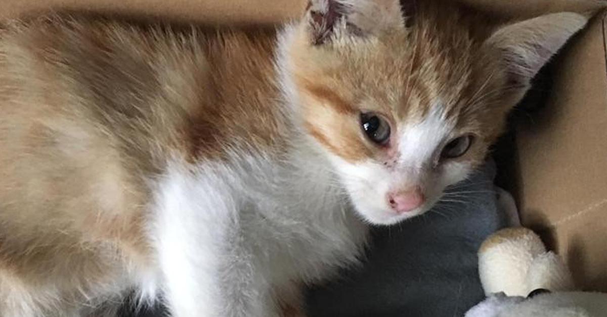 Gatto Ginger
