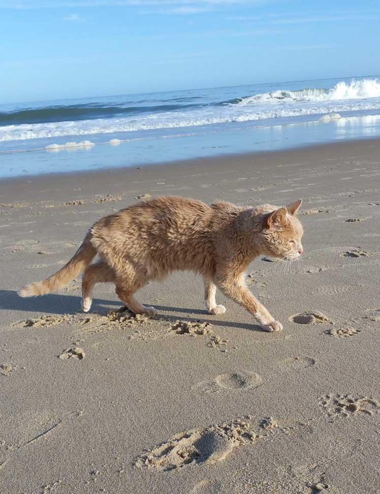 Gatto che cammina in spiaggia