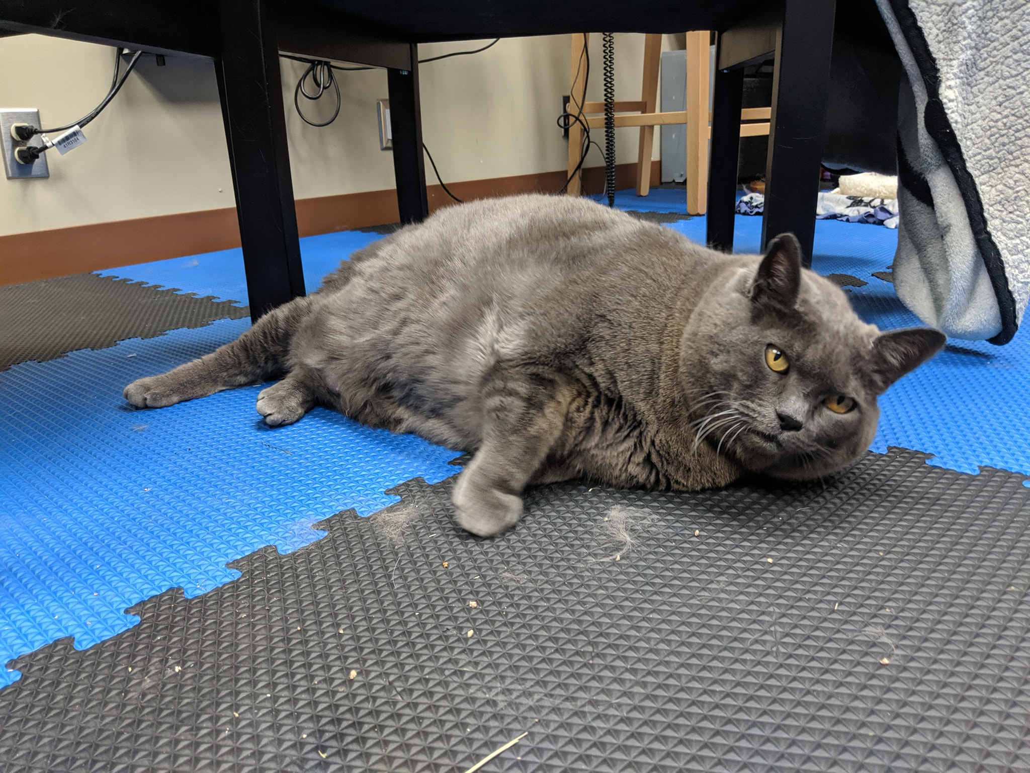 Gatto obeso sdraiato