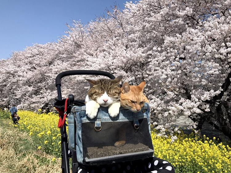 I gatti Daichiki e Fuku-Chan