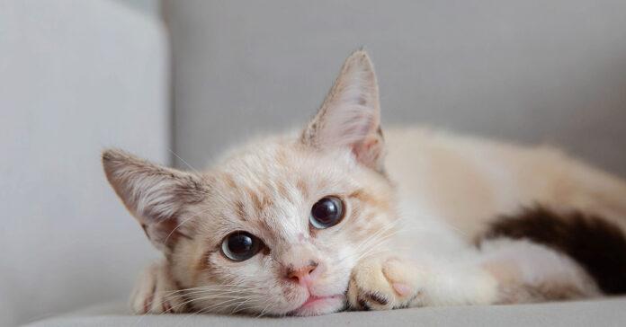 La storia del gatto Pelota