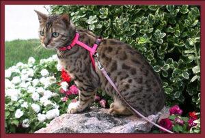 Gatto del Bengala: quale pettorina scegliere