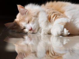 gatto angora turco bicolore