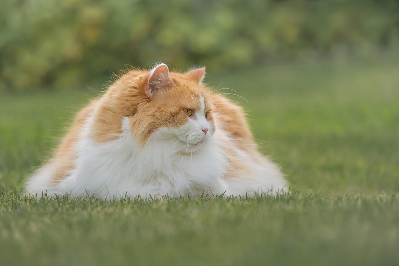 british longhair bianco e arancione