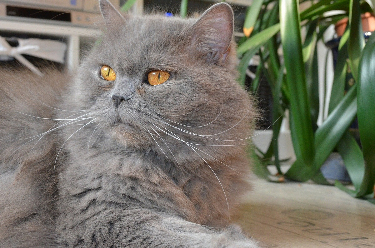 british longhair grigio