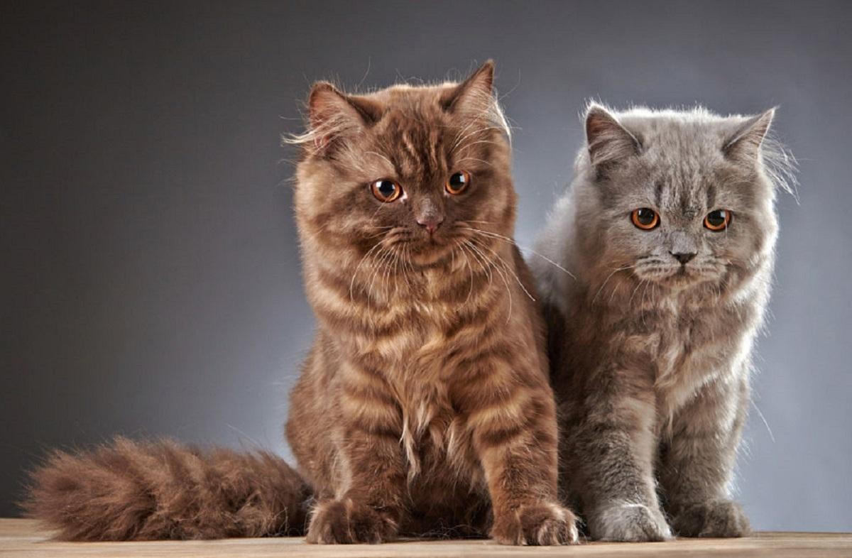 due cuccioli di british longhair