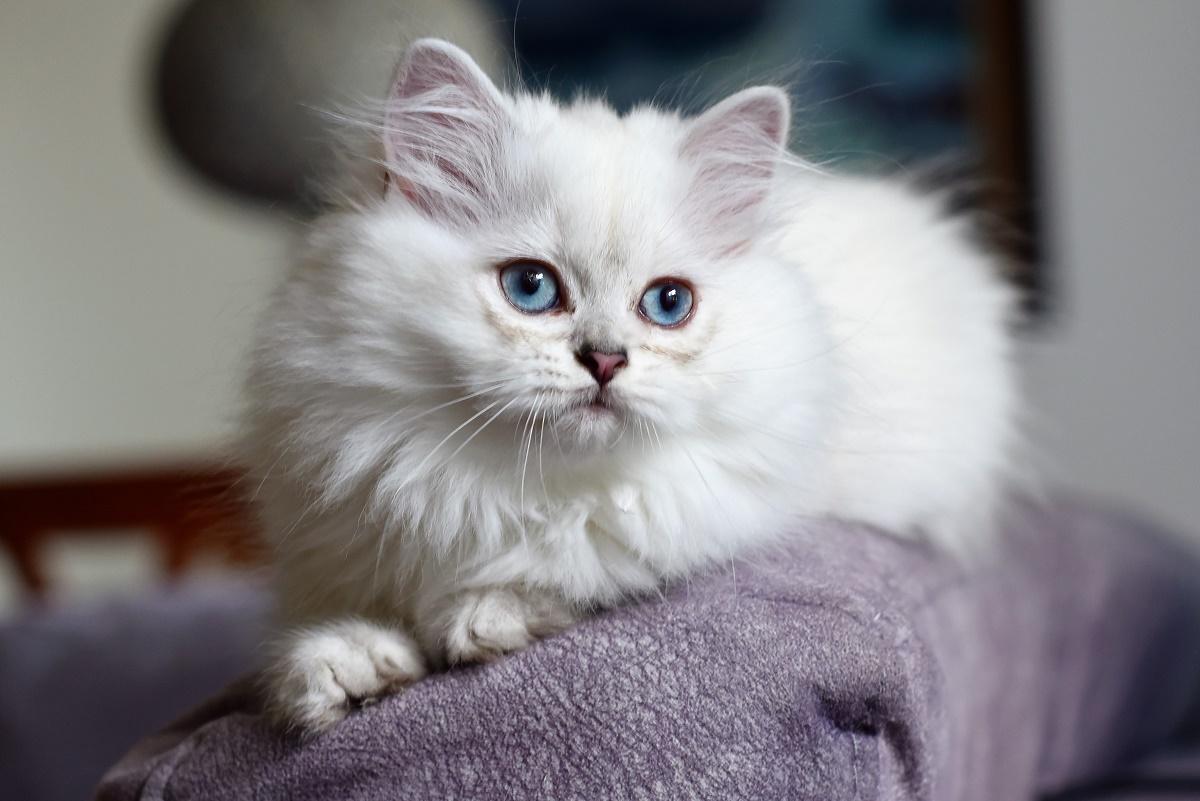 british longhair bianco