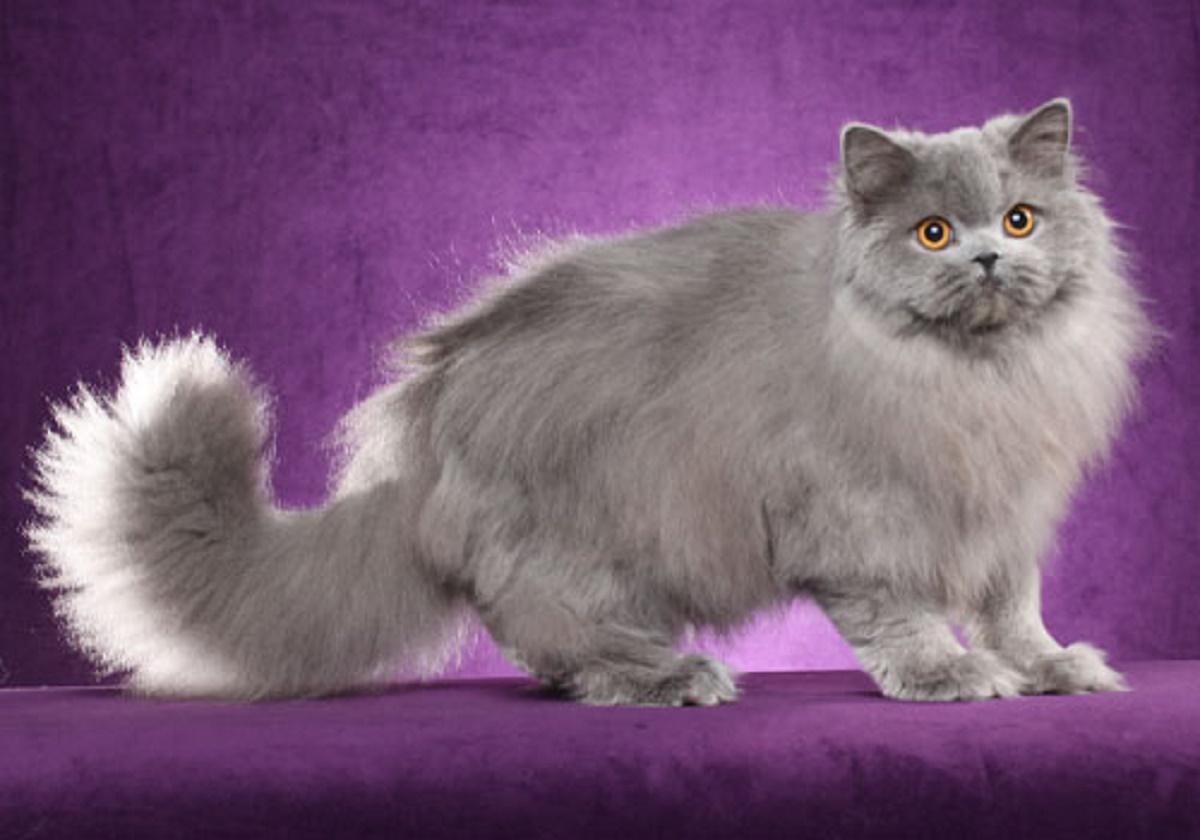 british longhair su sfondo viola