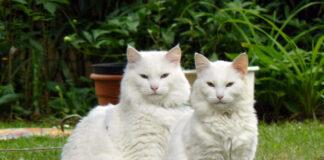 Gatto norvegese bianco: immagini e caratteristiche