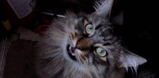 Maine Coon miagola sempre: che ha?
