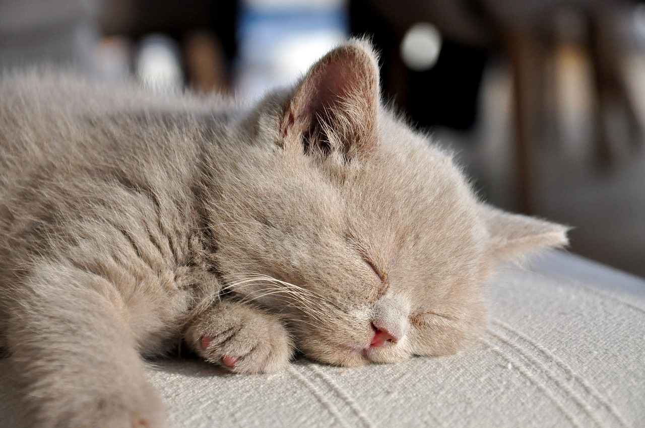 cucciolo di gatto british longhair