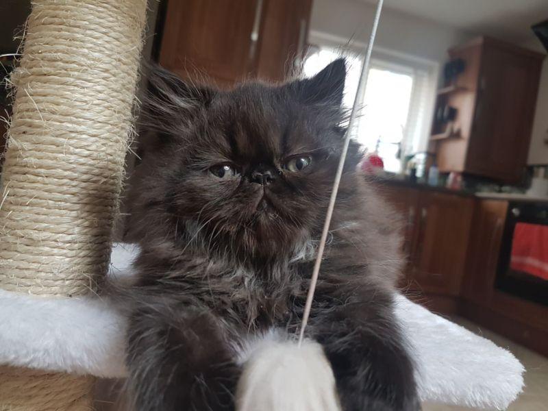 Comportamento gatto Persiano