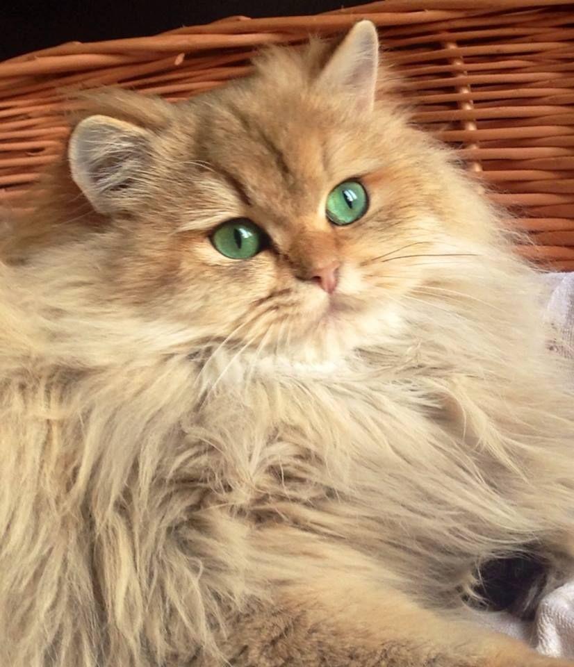 British Longhair: immagini e foto bellissime