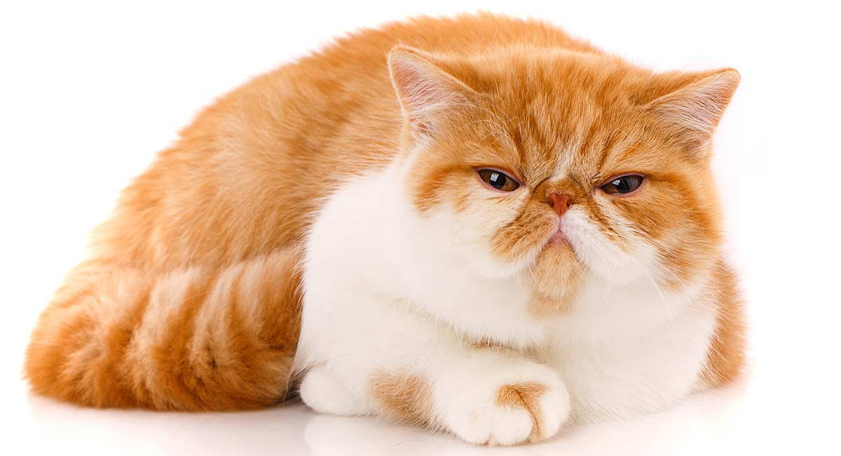 gatto exotic shorthair sfondo bianco