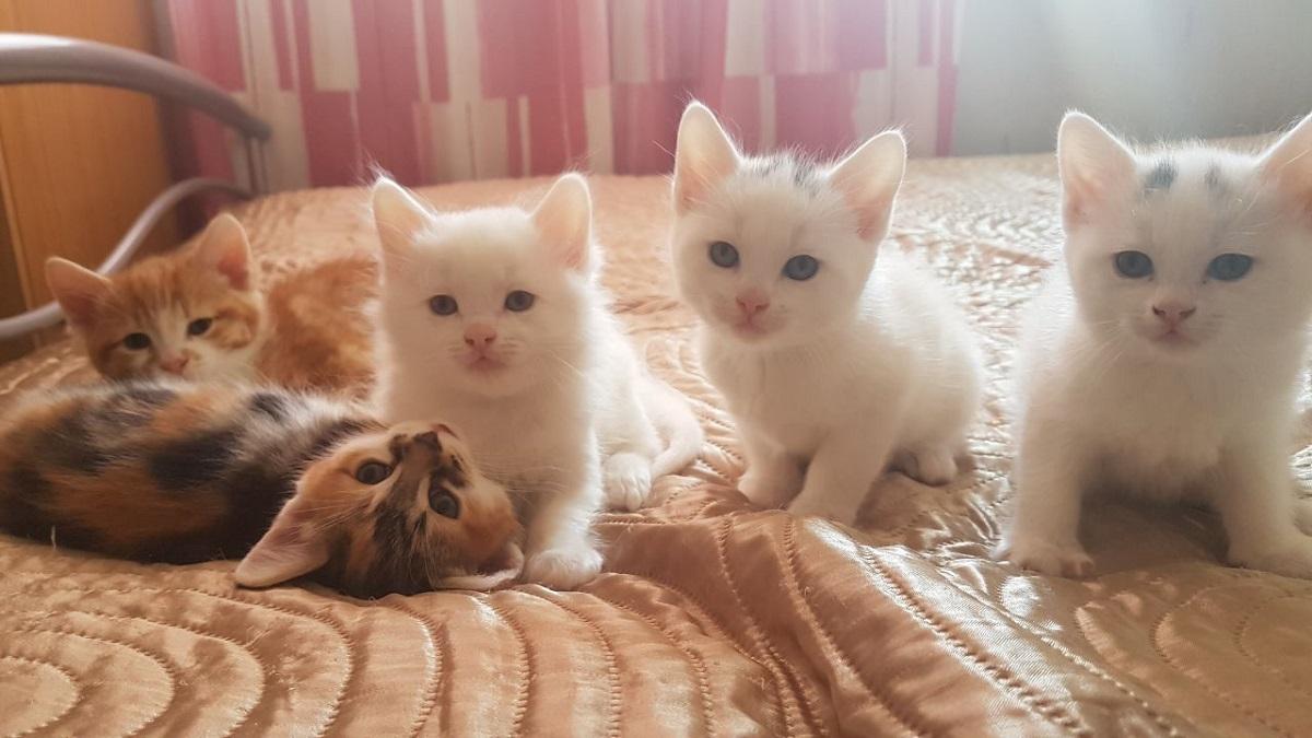 cinque gattini d'angora