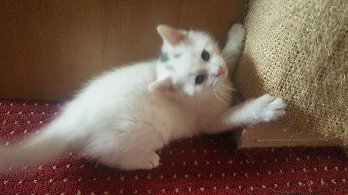 gattino d'angora che gioca