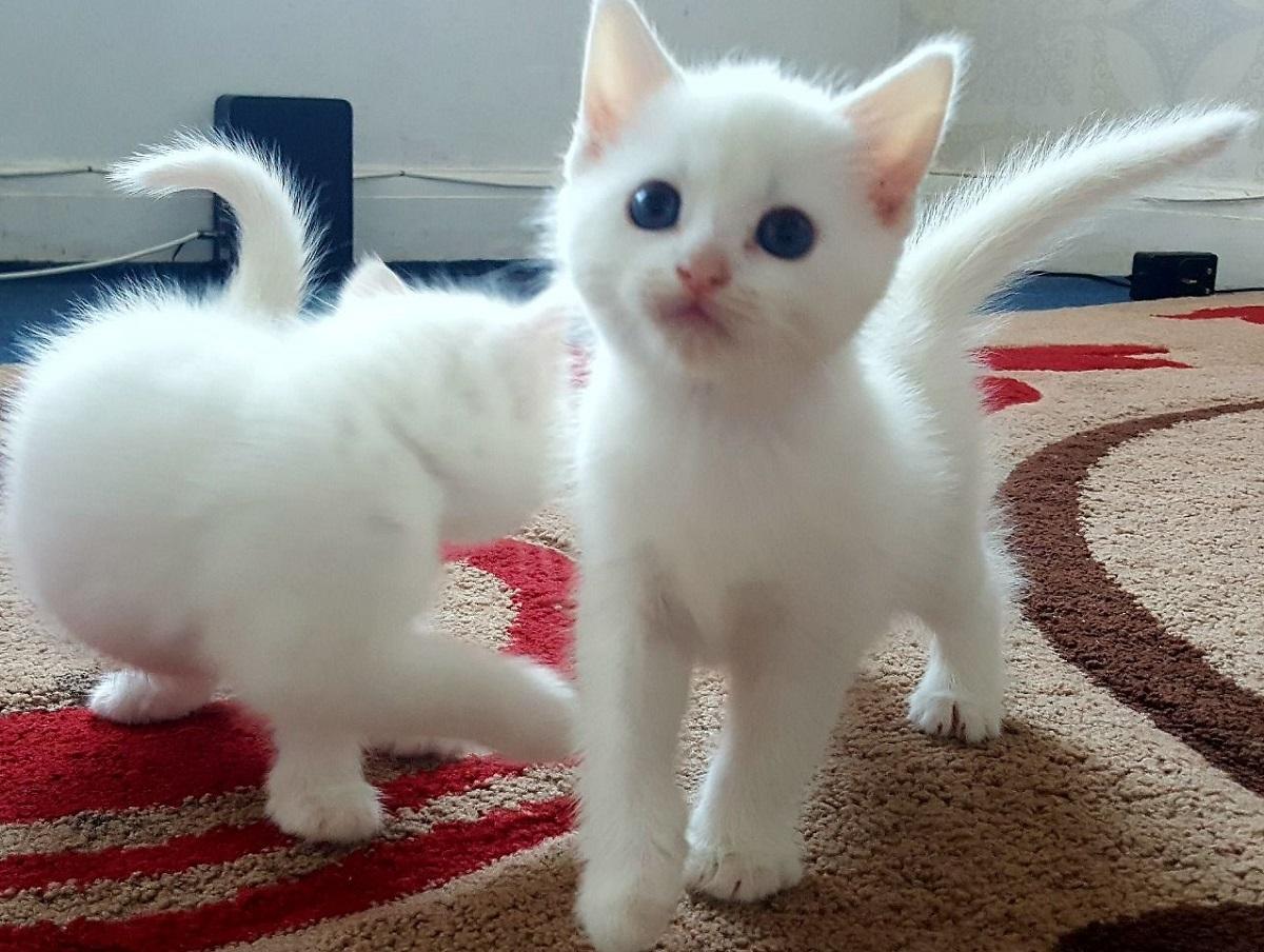 gattini d'angora su tappeto