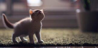 gattino d'angora su tappeto verde