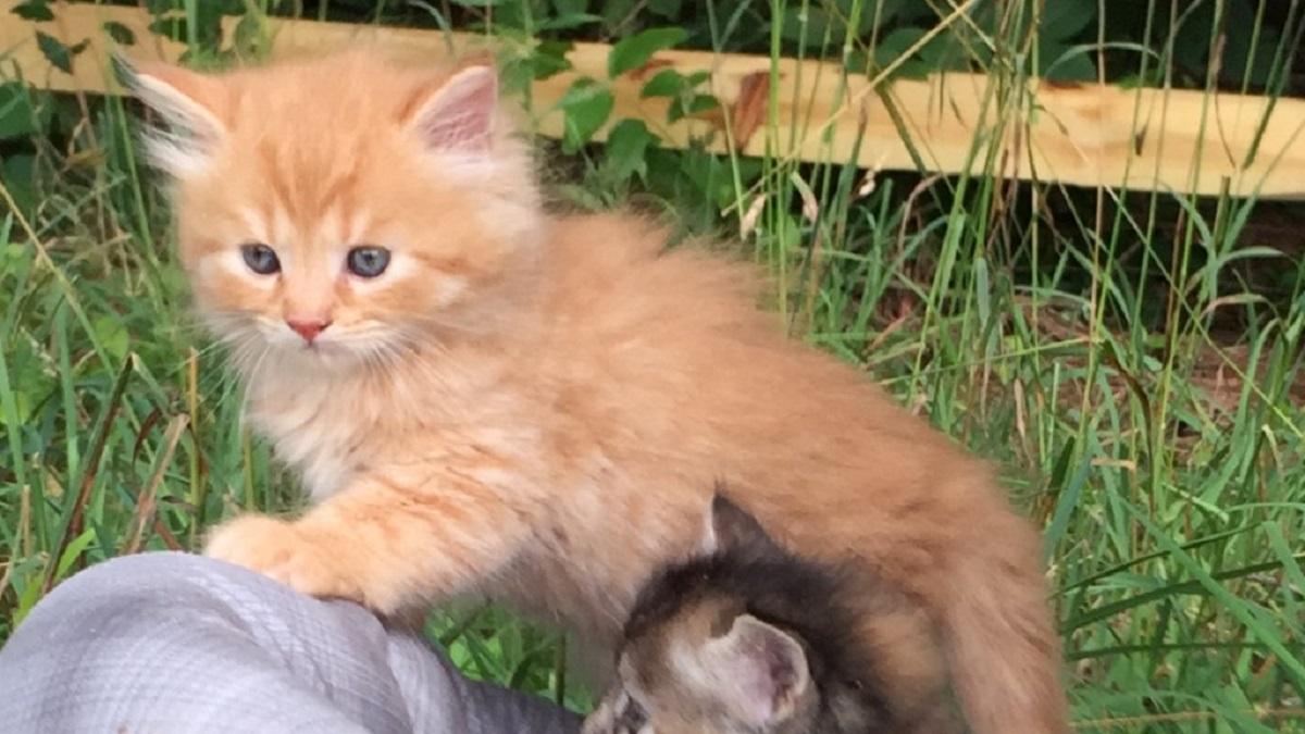 gattino d'angora rosso