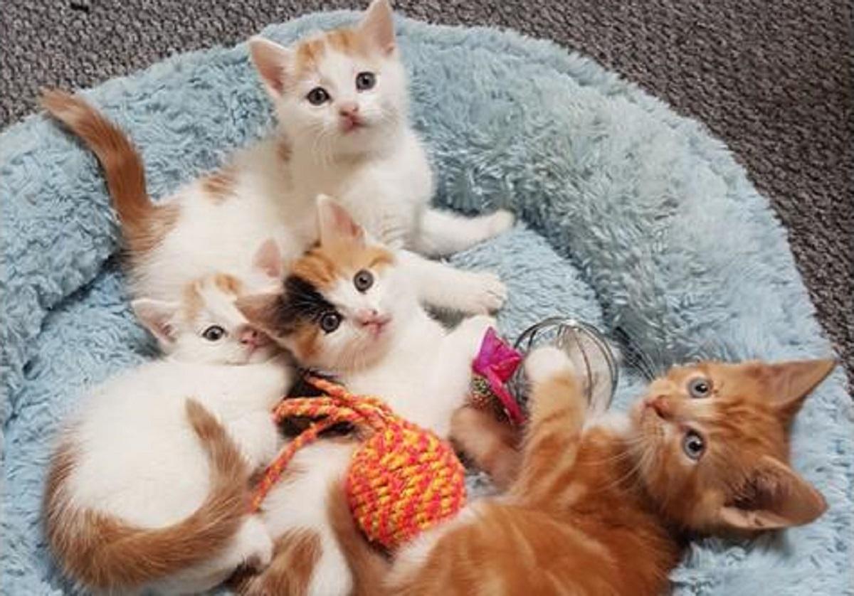 cucciolata di gatti d'angora