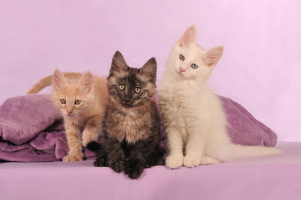 gattini d'angora su divano rosa