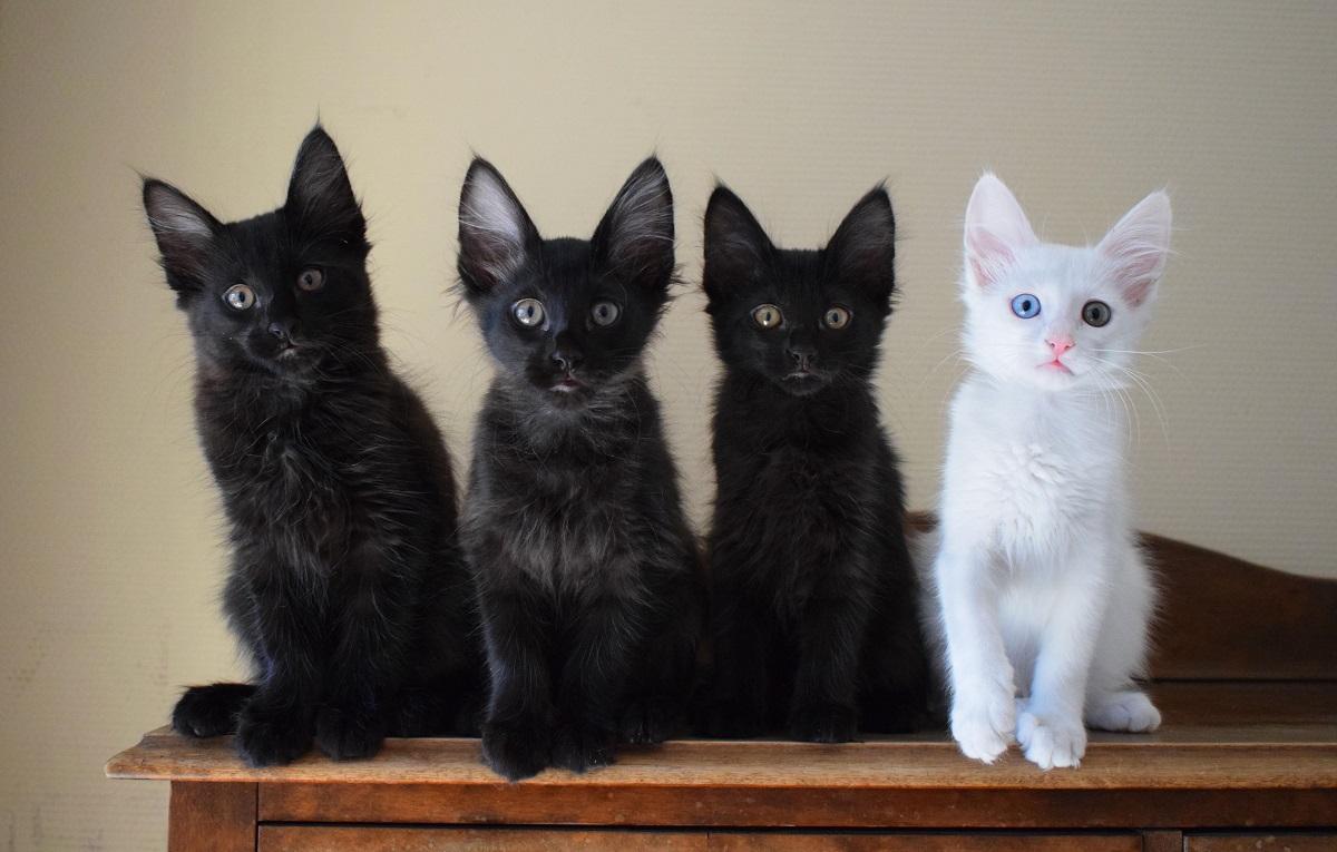 quattro cuccioli di gatto d'angora