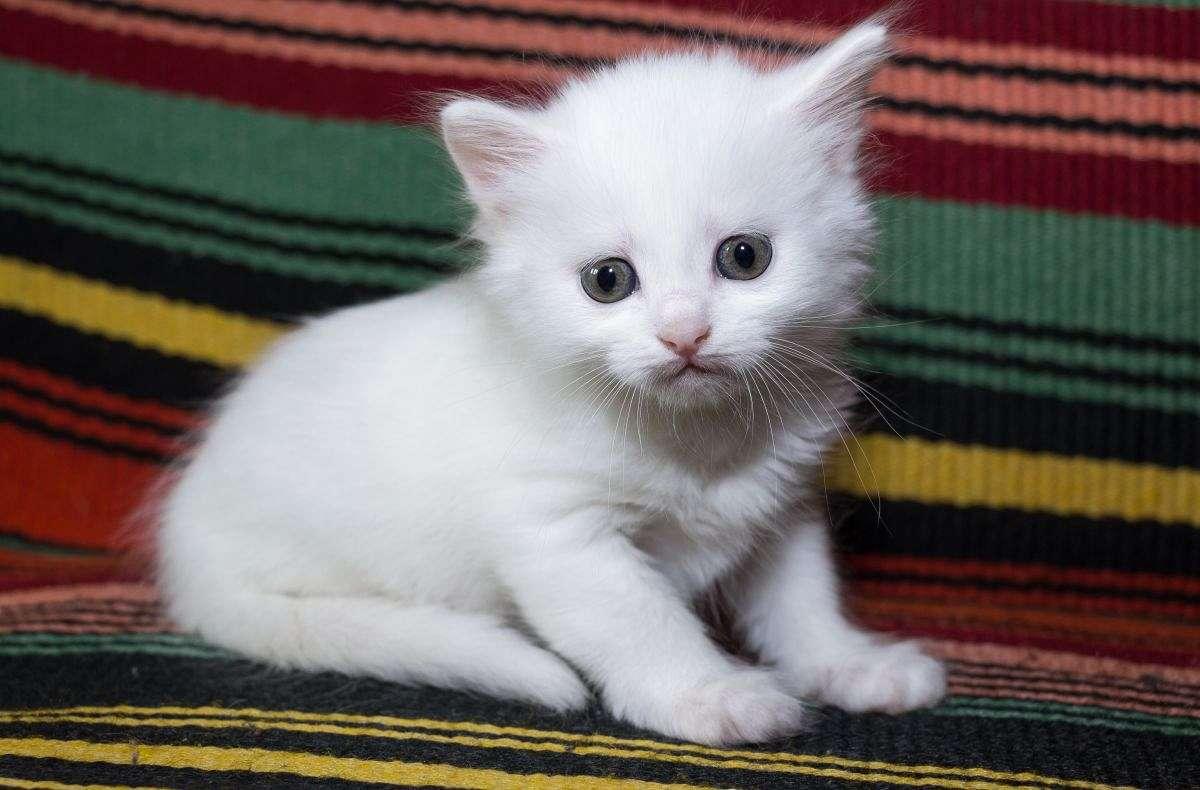 cucciolo bianco di angora turco
