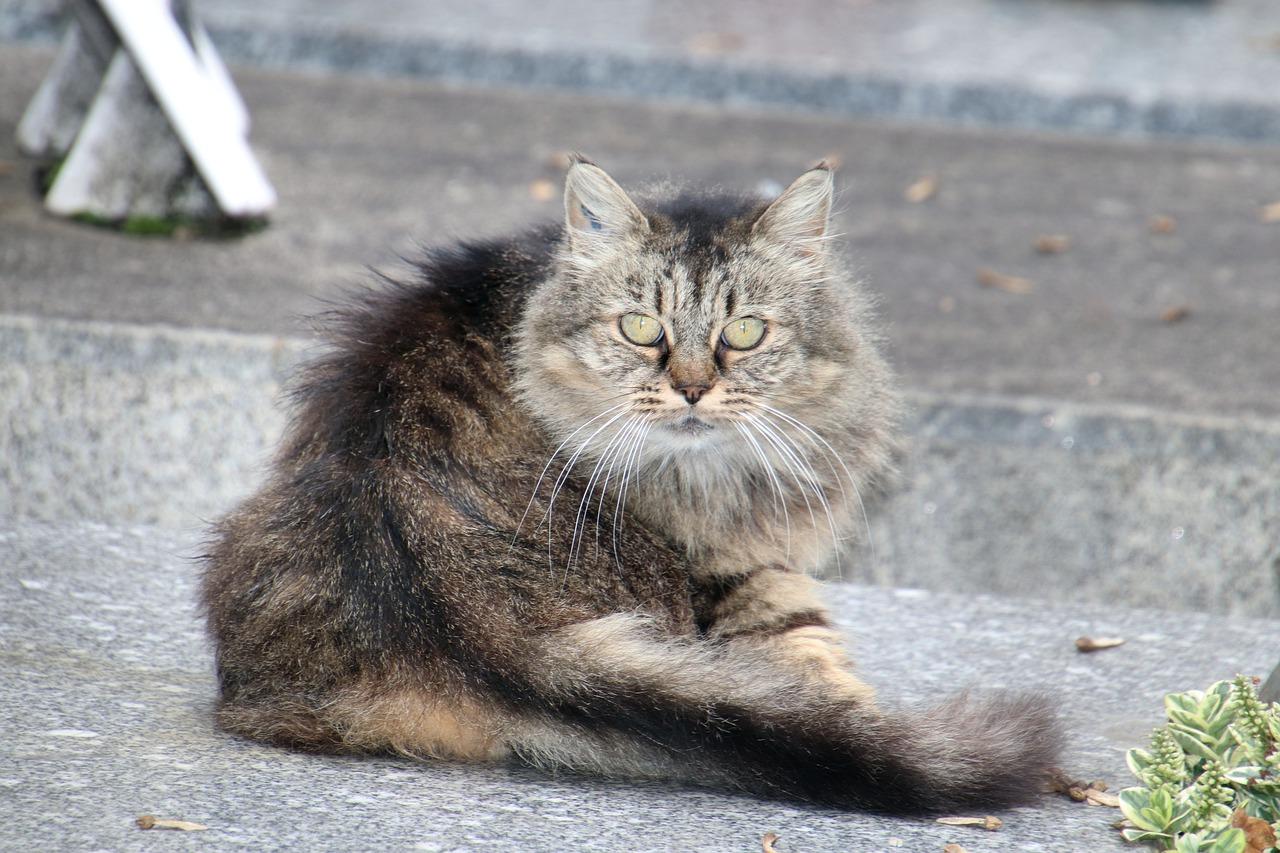 gatto angora grigio