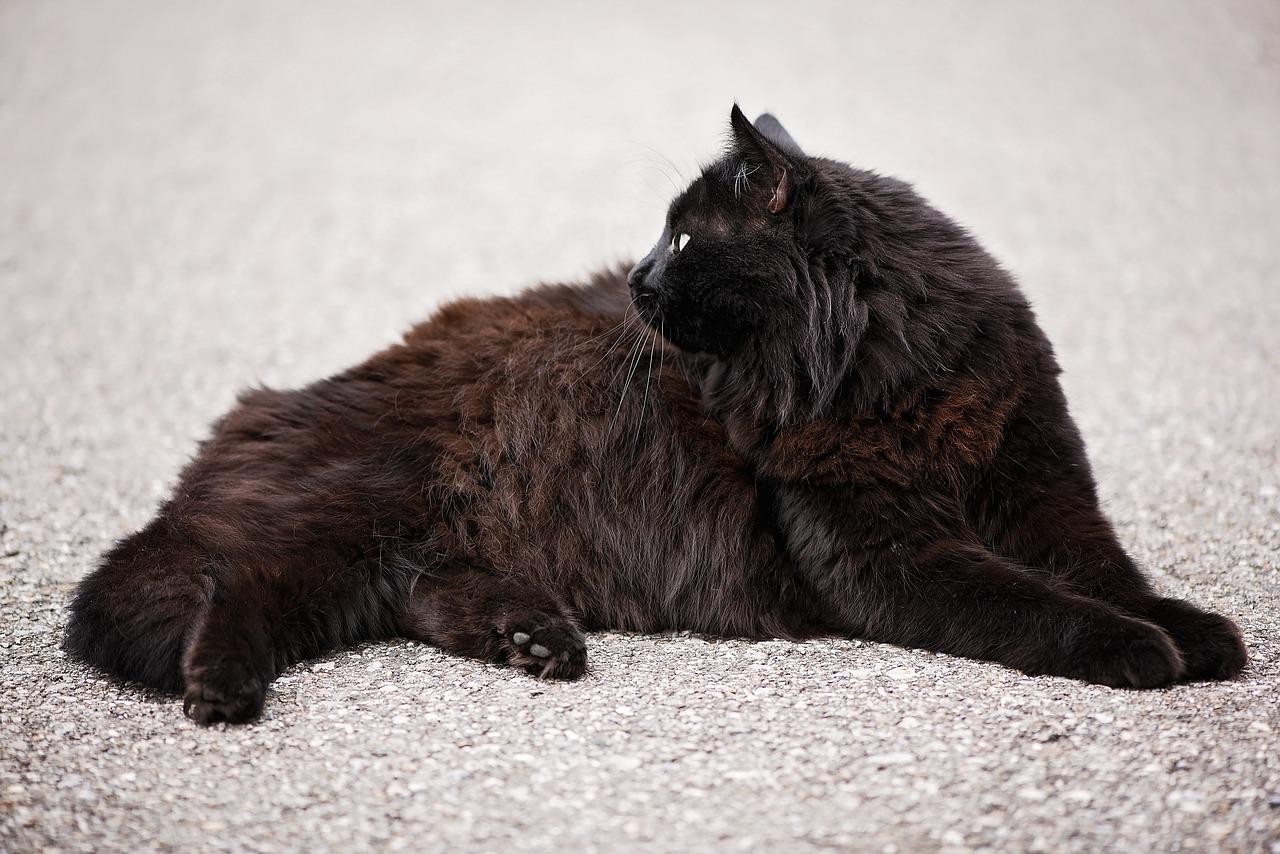 gatto angora nero rosso