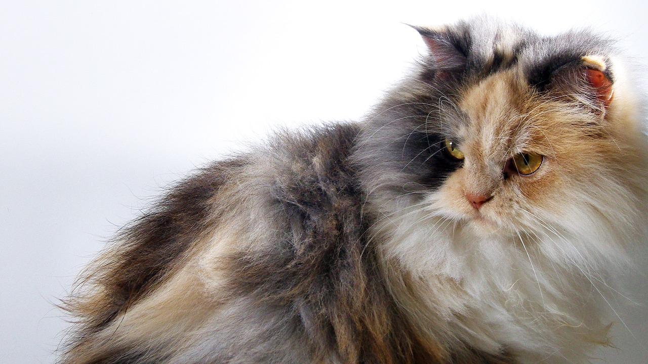 gatto angora turco tre colori