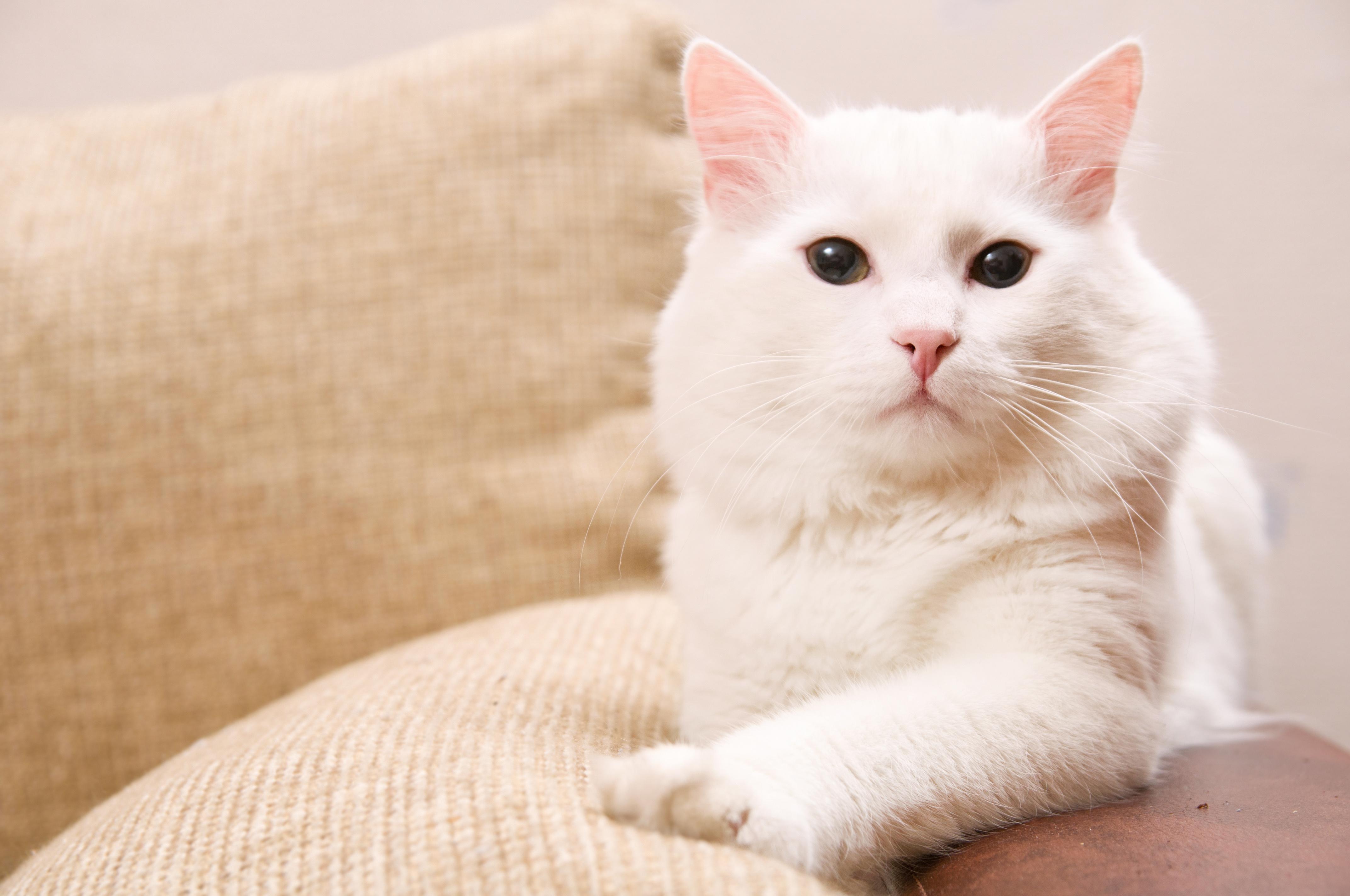 gatto angora turco bianco