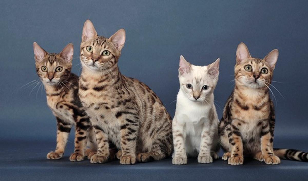 cuccioli di gatto del bengala