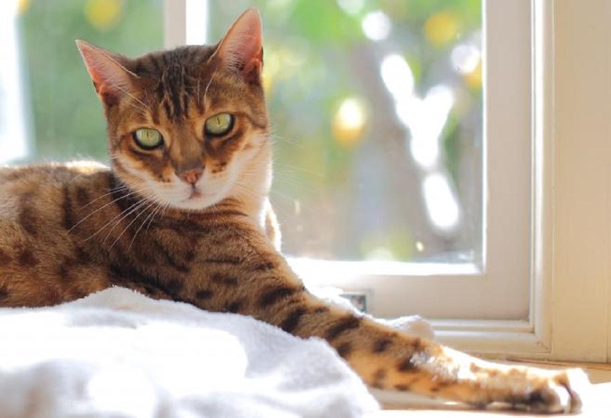 gatto del bengala vicino a finestra