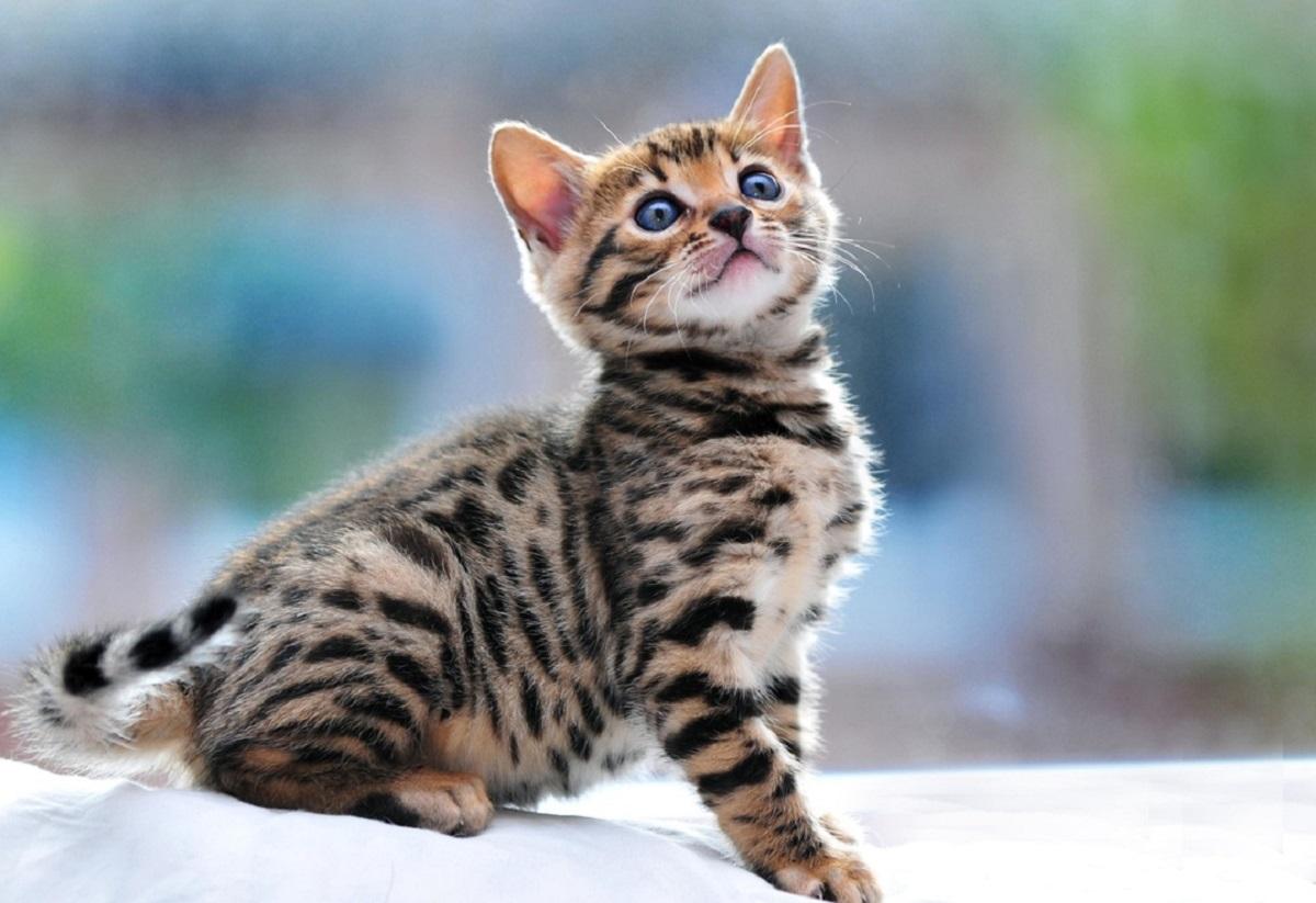 cucciolo di gatto del bengala