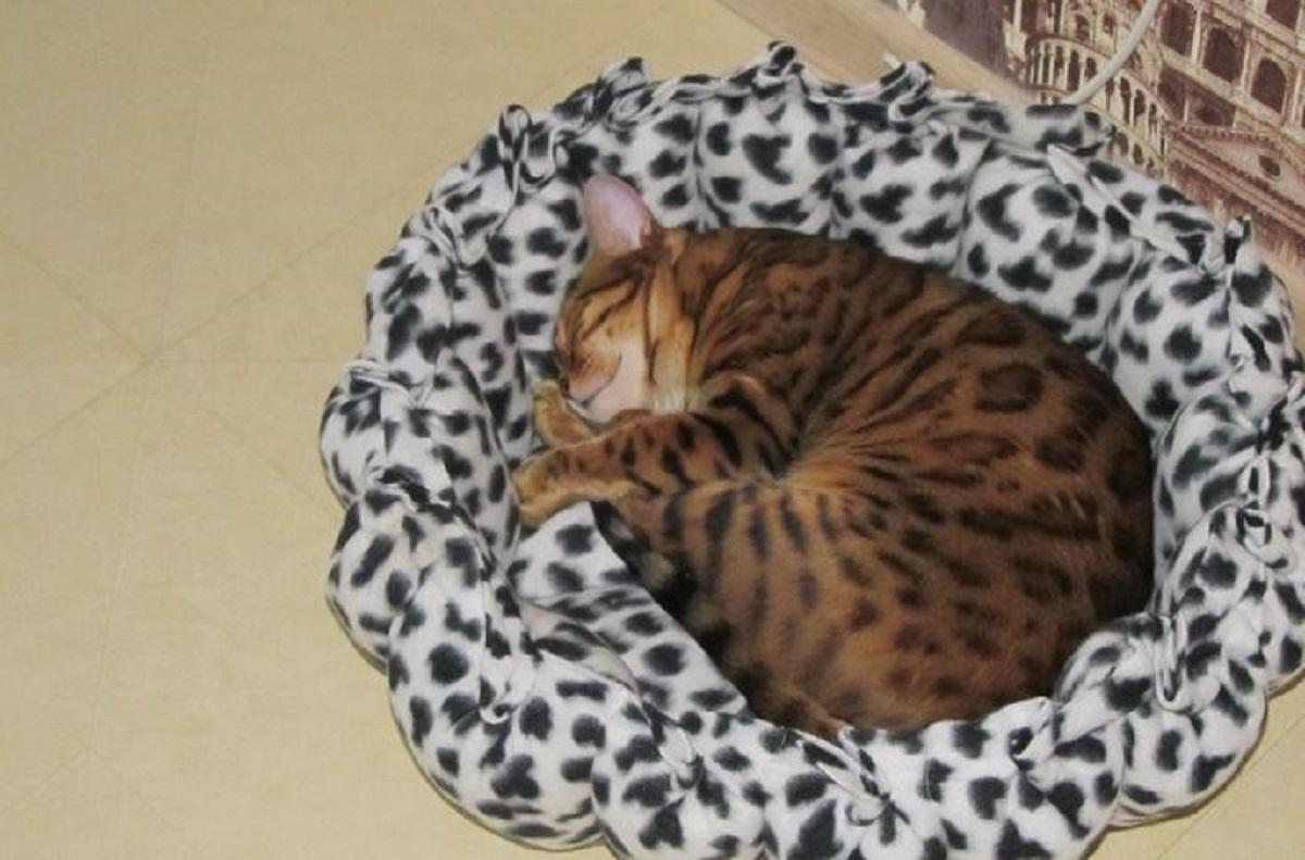 gatto del bengala che dorme
