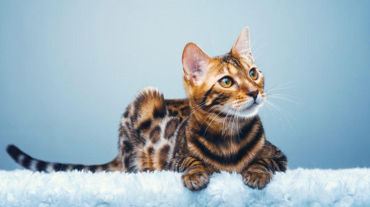 gatto del bengala sfondo celeste