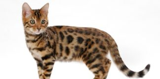 gatto del bengala sfondo bianco