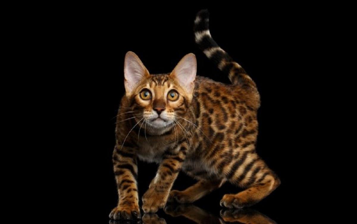 gatto del bengala sfondo nero
