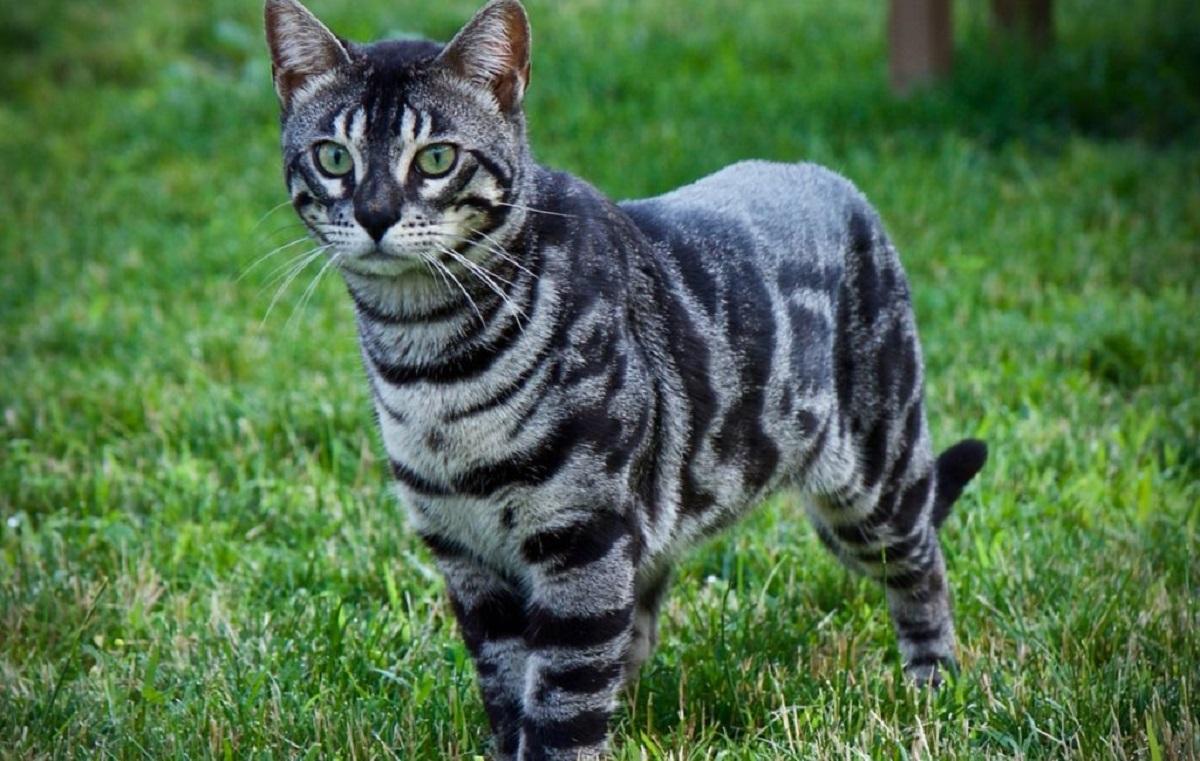 gatto del bengala sull'erba