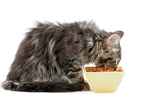gatto norvegese mangia dalla ciotola